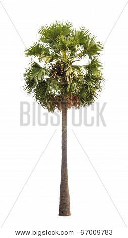 Borassus flabellifer known by several common names including Asian Palmyra palm Toddy palm Sugar palm or Cambodian palm tropical tree in the northeast of Thailand isolated on white background poster