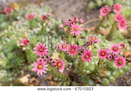 Closeup of pink blooming Cobweb Houseleek or Sempervivum arachnoideum in the early summer season. poster