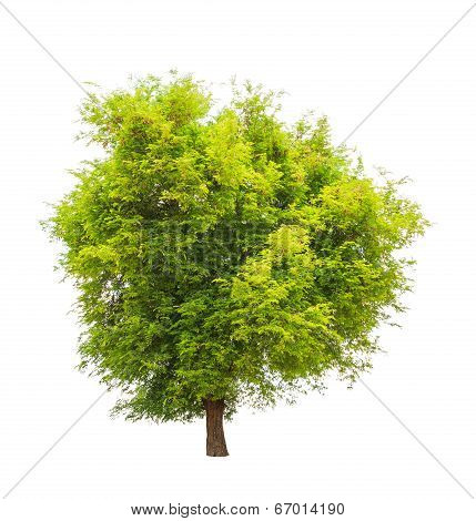 Tamarind tree (Tamarindus indica) tropical tree in the northeast of Thailand isolated on white background poster