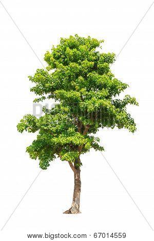 Pterocarpus Indicus Known By Several Common Names, Including Amboine, Pashu Padauk, Malay Paduak, Ne