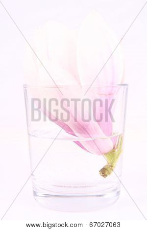 Magnolia flower in a glass on a white background