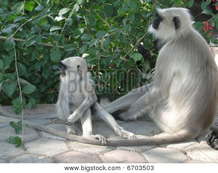 Black faced langur monkey mother and child near Ranakapur India poster