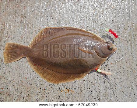 Common Dab - Flatfish