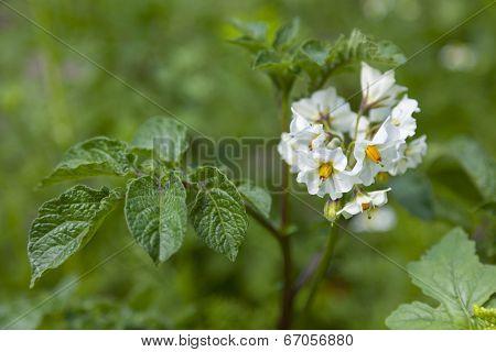 White flowering Solanum tuberosum, potato