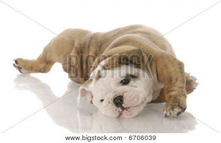 Bulldog Pup Rolling On Back