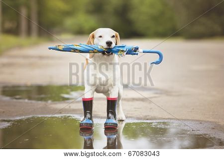 adorable beagle dog in rain boots