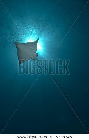 Backlit Eagle Ray