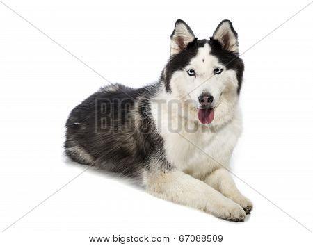 Alaskan Malamute or Husky Dog Isolated on White