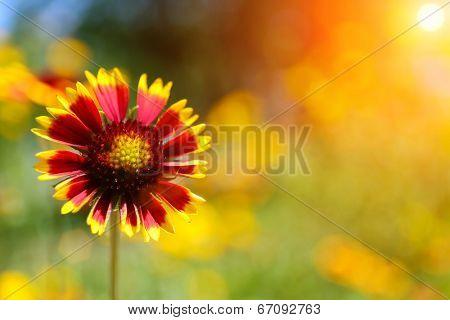 Gaillardia (Blanket Flower) in bloom, outdoors poster