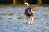Parson Jack Russell in bright red coat mid-air enjoying scampering in the snow in the low winter sun. poster