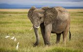 Elephant with curved tusks and cattle egrets poster