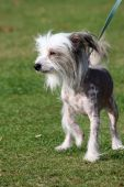 Adorable little Chinese Crested Hairless dog out for a walk in the countryside poster