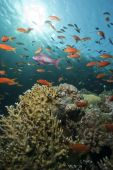 A school of Lyretail anthias (Pseudanthias squamipinnis) over a coral reef. Red Sea Egypt. poster