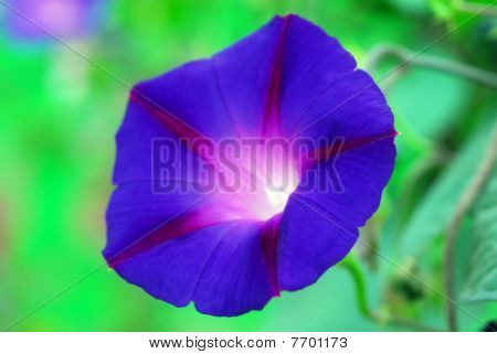 isolated shot of Heavenly Blue Morning Glory Ipomea flower poster