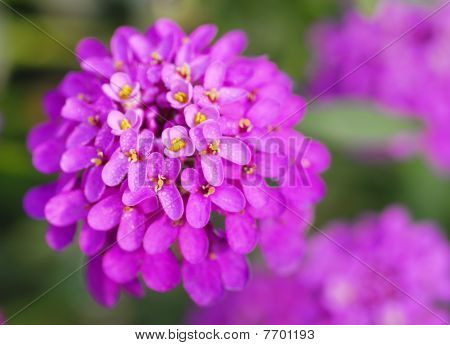 Pink Iberis Sempervirens Flower