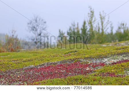 Red bearberry surrounded by green leaves of crowberry.