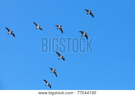 Group Of Canadian Geese Flying In V Shaped Flock