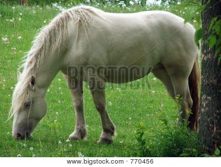 American Cream Draft Horse