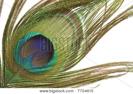 Colorful peacock feather detail isolated on white background poster
