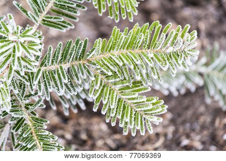 Branches of fir