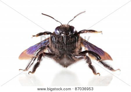 Macro of carpenter bee (Xylocopa violacea) in aggressive pose isolated on white poster