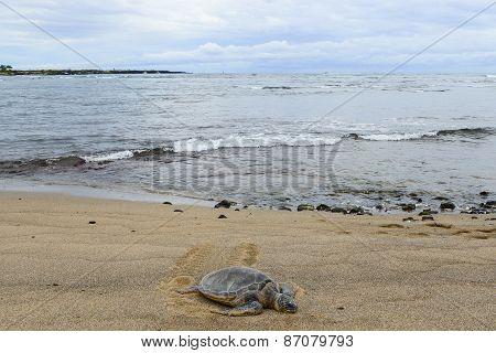 Picture of a Honu sea turtle