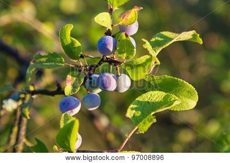 Blackthorn branch covered with dew illuminated by sun closeup on summer day. poster