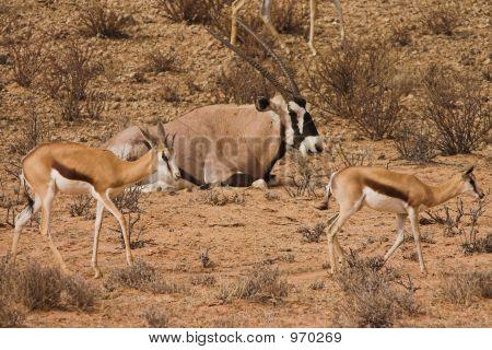 Gemsbok  Springbok2