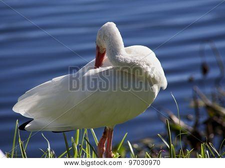 American White Ibis (Eudocimus albus) grooming Feathers