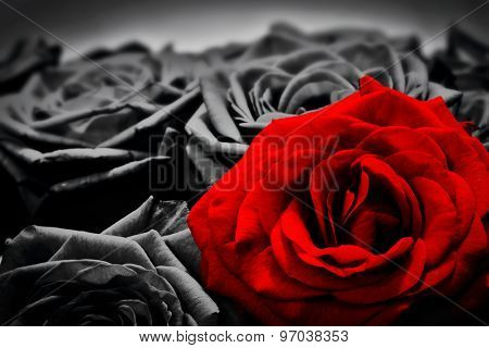 Romantic greeting card of red rose against black and white roses. Valentines day, mothers day, anniversary flowers etc. poster