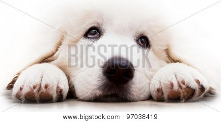 Cute white puppy dog lying and looking up. Polish Tatra Sheepdog, known also as Podhalan or Owczarek Podhalanski