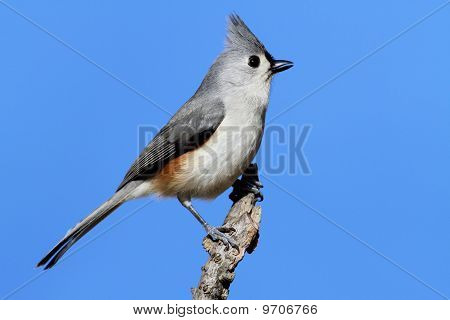 Tufted Titmouse (baeolophus bicolor) on a stick with a blue background poster