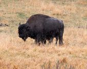 herds of bison on a rainy day in yellowstone national park - landscape format poster