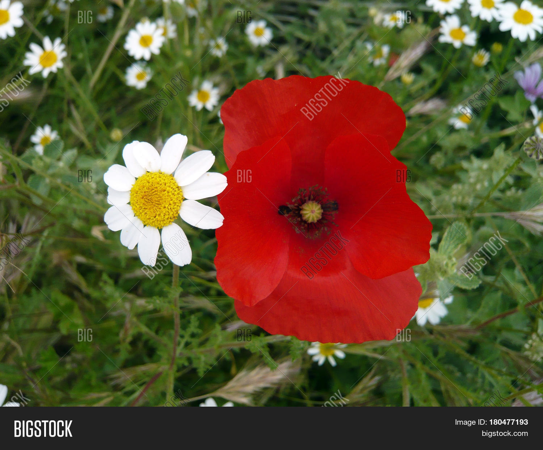 Poppy Daisy Flower On Image & Photo (Free Trial)   Bigstock
