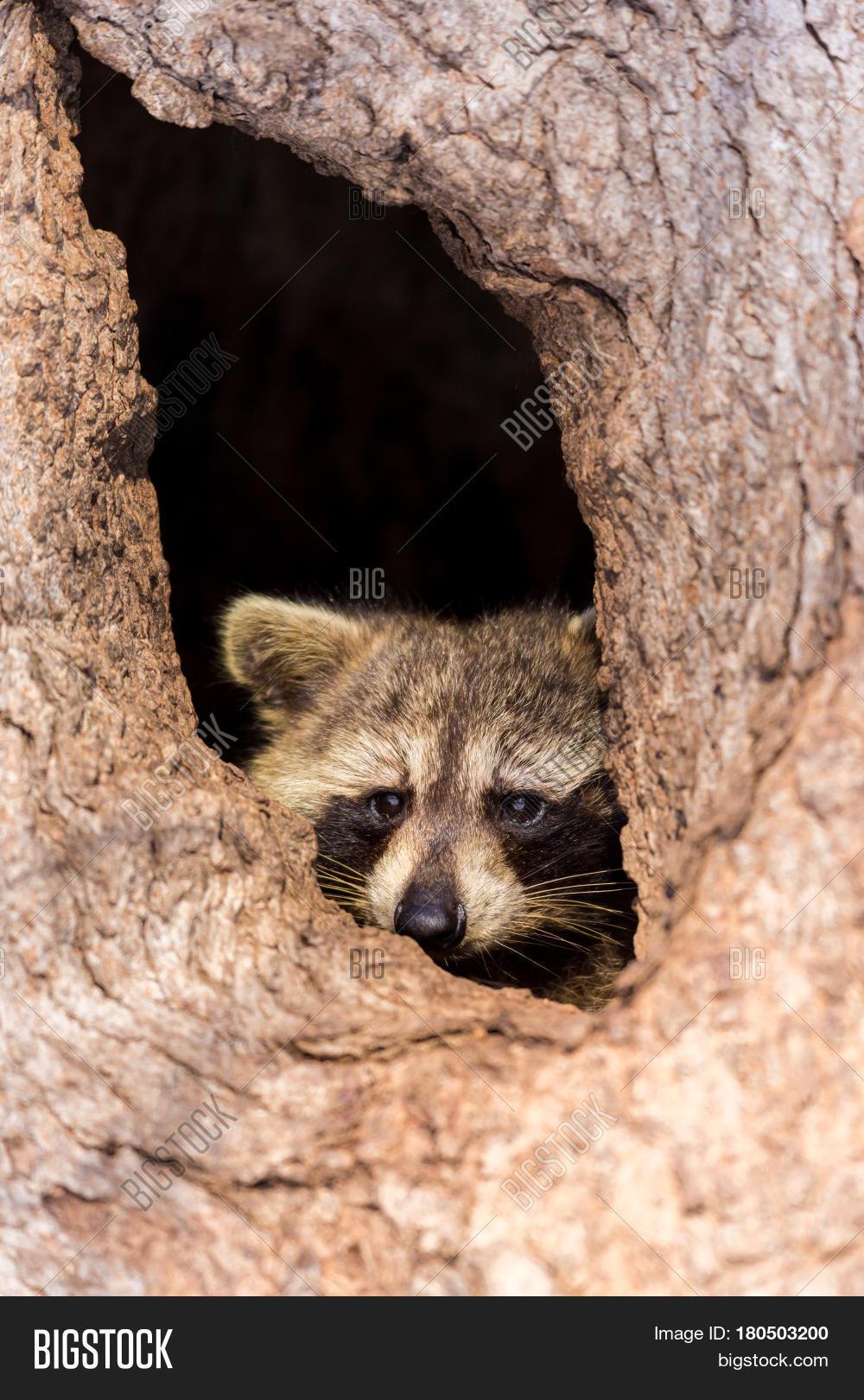 Bandit-masked Raccoons Image & Photo (Free Trial) | Bigstock