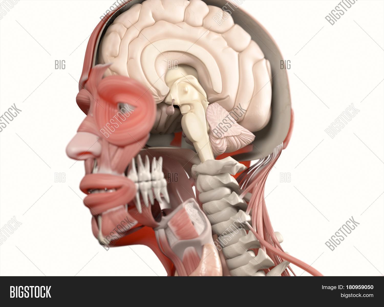 Anatomy Head Brain Image & Photo (Free Trial) | Bigstock