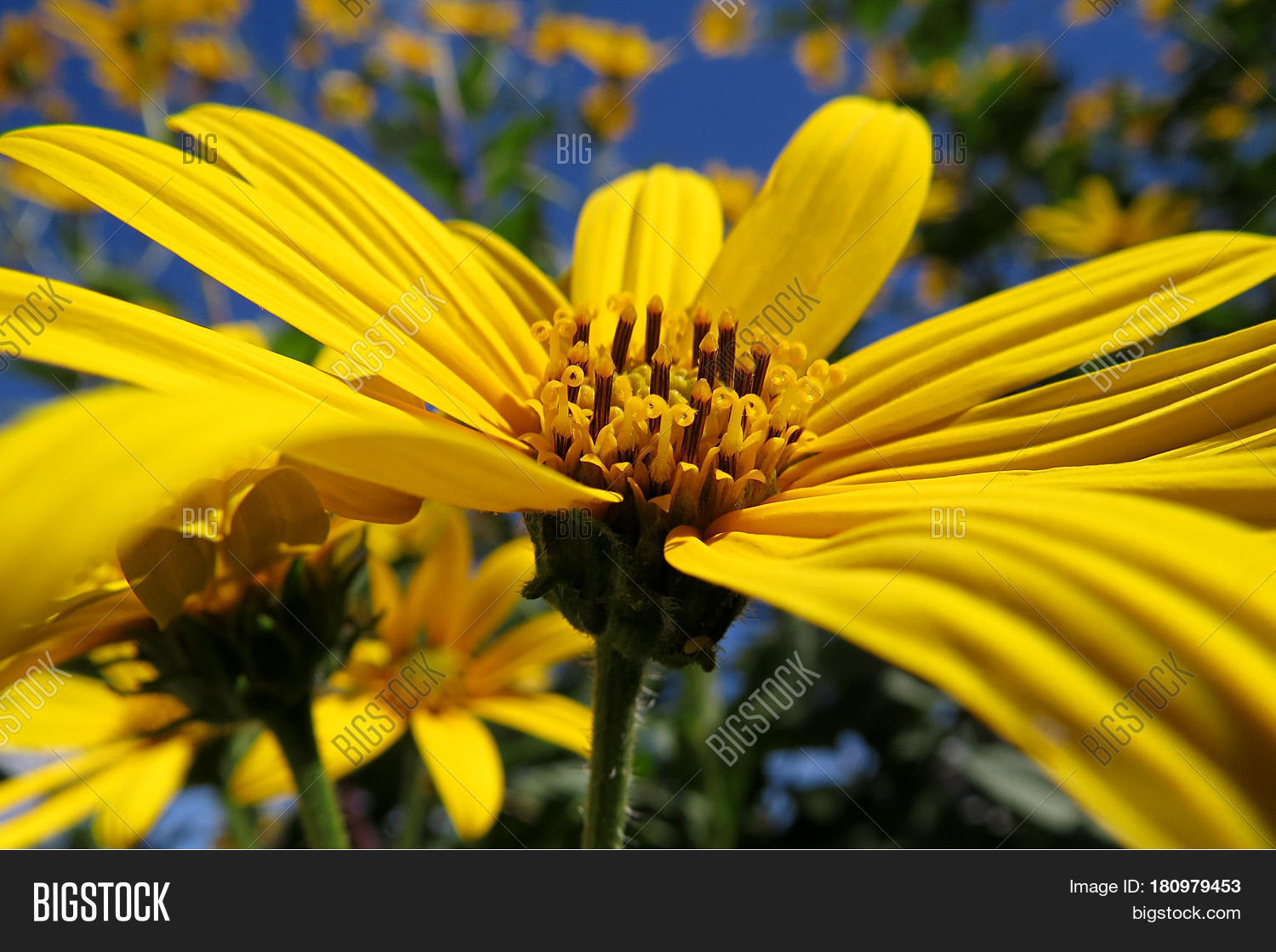 African Bush Daisy Image Photo Free Trial Bigstock