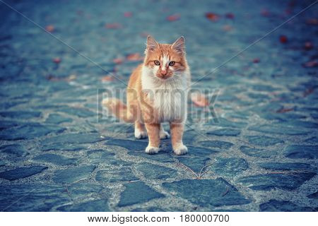 Portrait of a red orange street cat with white spots standing and looking in old european city, animal natural background