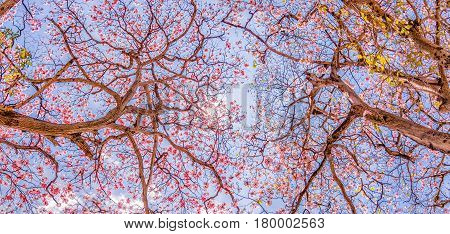 Panoramic of Pink Trumpet Trees changing leaves during spring seen from below
