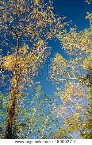 Tall yellow tress against a blue sky