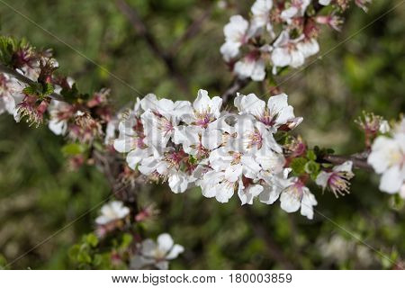 White and pink Nanking cherry blossom tree in a park