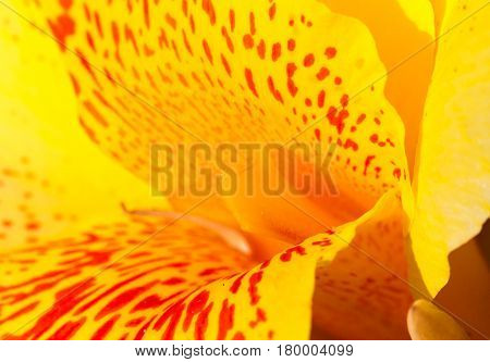 Yellow tropical flower with red dots in center. Canna lily stamen and petals macro photo. Blooming orchid macro photo. Summer blossom in garden. Floral image for spring background or banner template