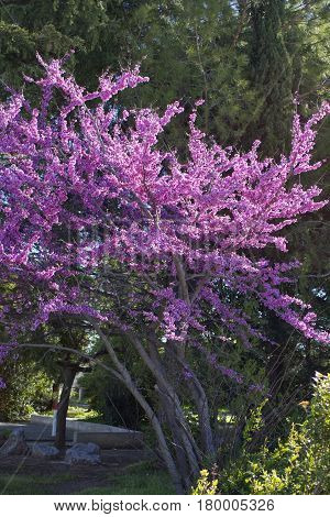 Cercis canadensis -Eastern redbud . Purple Blossoming tree in a park