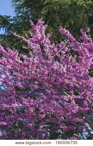 Cercis canadensis -Eastern redbud . Purple Blossoming background