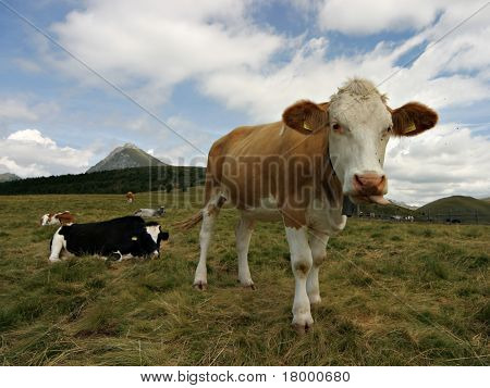 Cow on a mountain hill