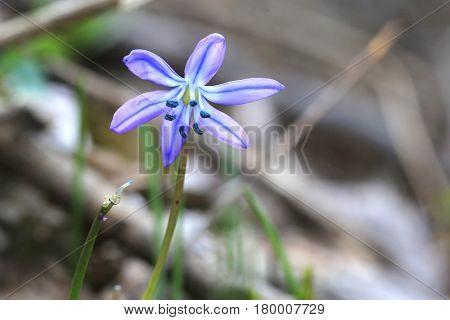 scilla bifolia - first spring flowers in forest