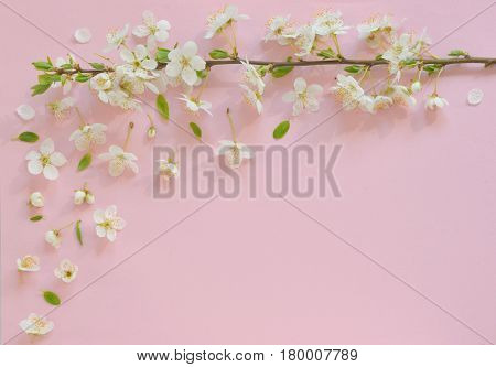 Cherry blossom on pink paper  background