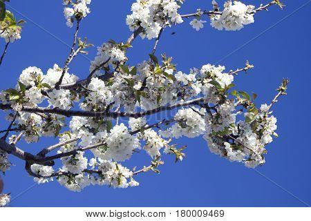 White Cherry blossom tree with blue sky