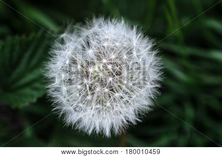 Close up of a white dandelion flower clock head in a natural setting with dark green woodland foliage in soft focus background.