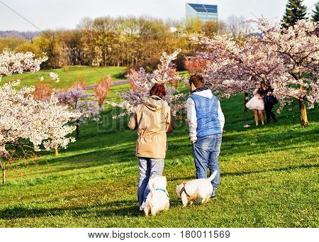 People Walking Dogs At Sakura Or Cherry Tree Flowers Garden